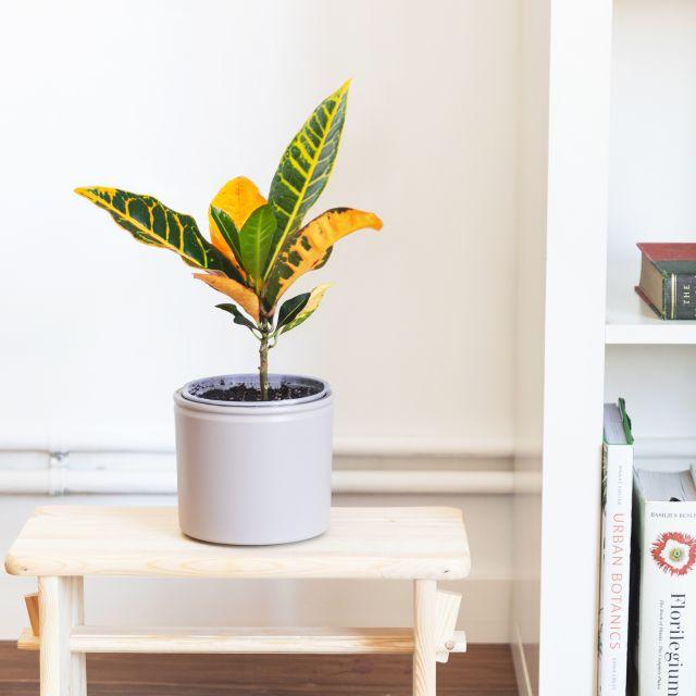 Planta Croton Petra