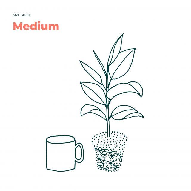 Enviar planta online Croton Petra