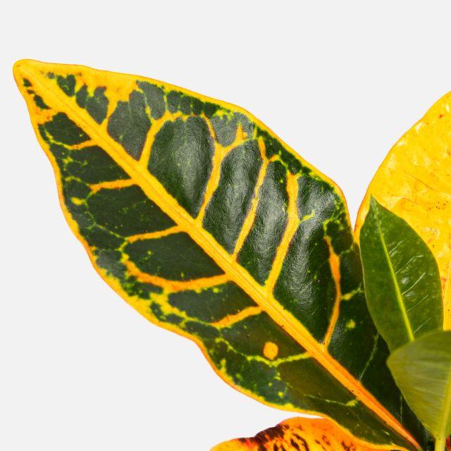 Comprar planta online Croton Petra