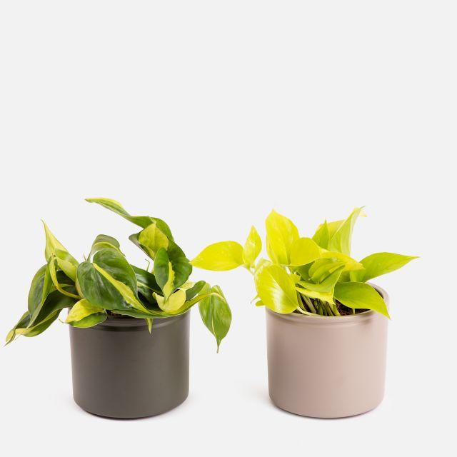Golden Pothos e Philodendron Brazil -  Petra e Grace Duo - Piante a domicilio - Colvin