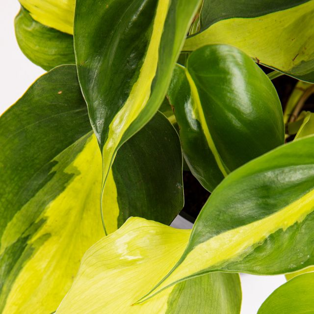 Envíar online Hoja de corazón y planta Epiprenum golden pothos & Grace Duo