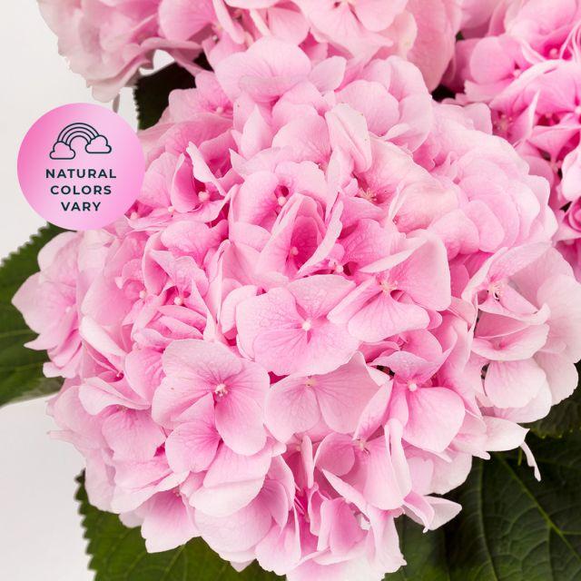 Blumenstrauß aus rosa Hortensien kaufen
