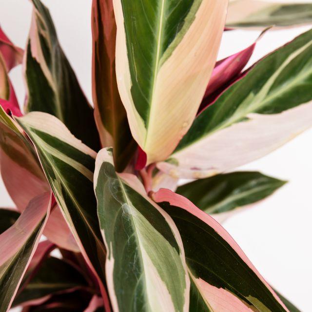 Planta Calathea Tricolor mediana
