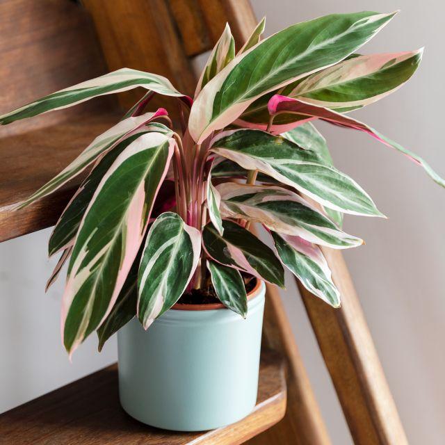 Calathea tricolor mediana online