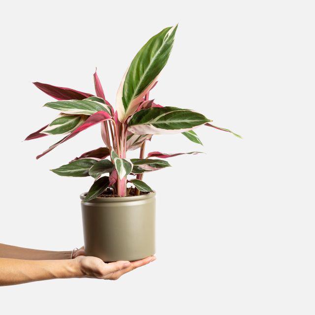 Comprar online Calathea tricolor