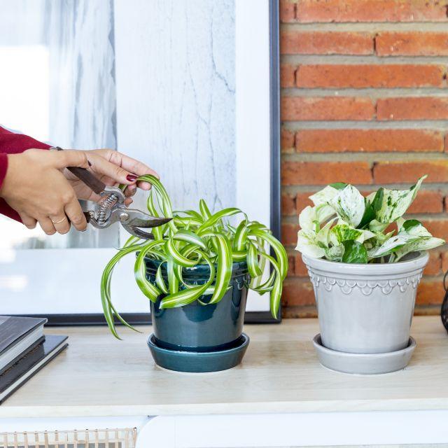 photos manjula y cinta planta envío a domicilio