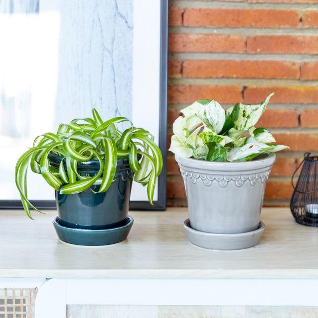 pack plantas potos y cinta o malamadre Colvin