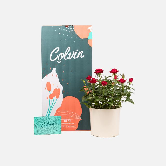 Comprar rosal mini online