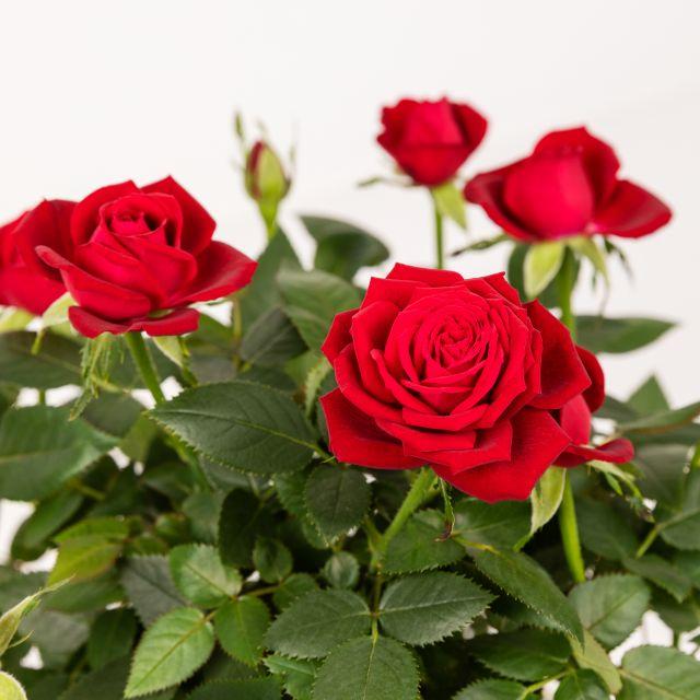 enviar rosal sant jordi a domicilio