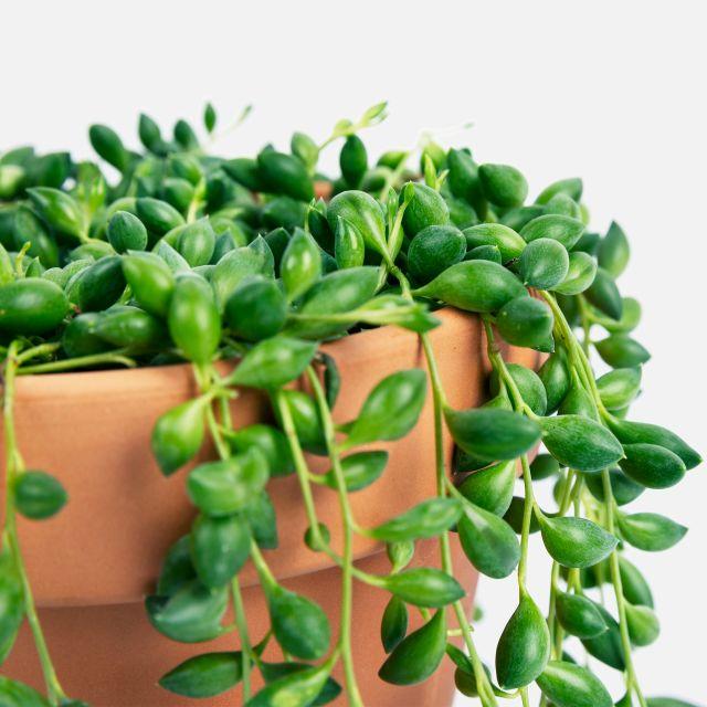 Erbsenpflanze Senecio Herreianus kaufen