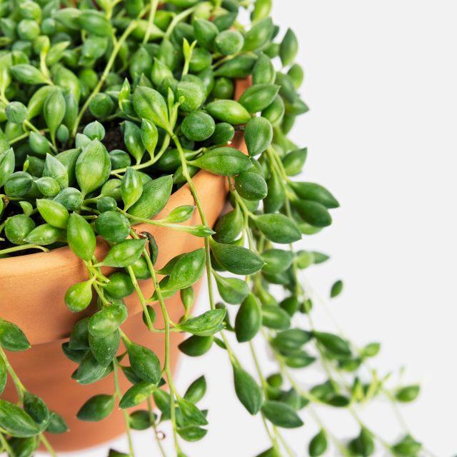 Erbsenpflanze Senecio Herreianus nach Hause verschicken