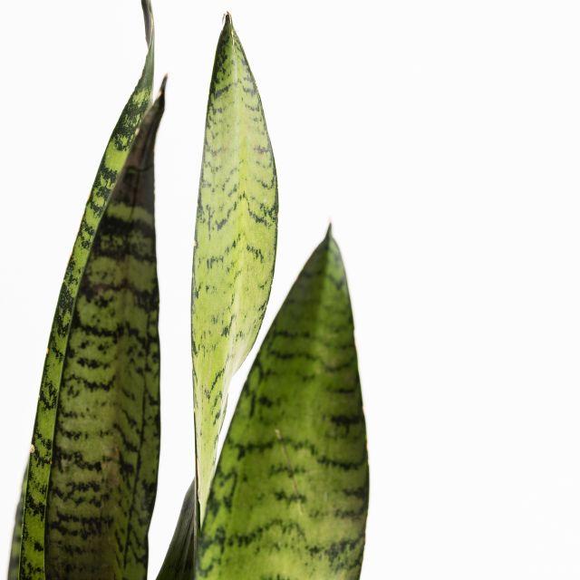 Planta Sansevieria mediana