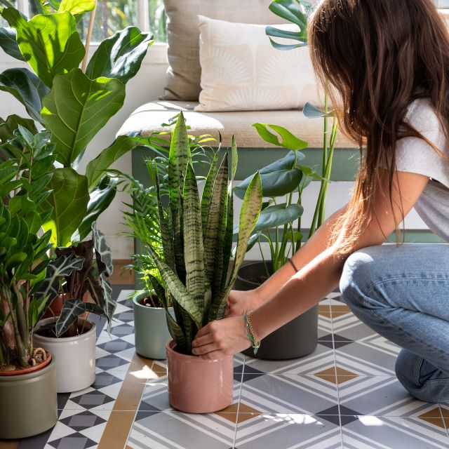 Enviar planta online Sansevieria