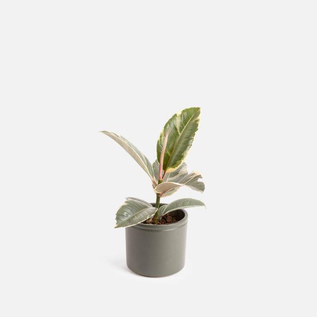Comprar Ficus Tineke