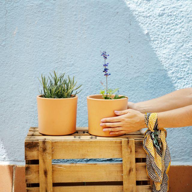 plantas aromáticas con flor Colvin