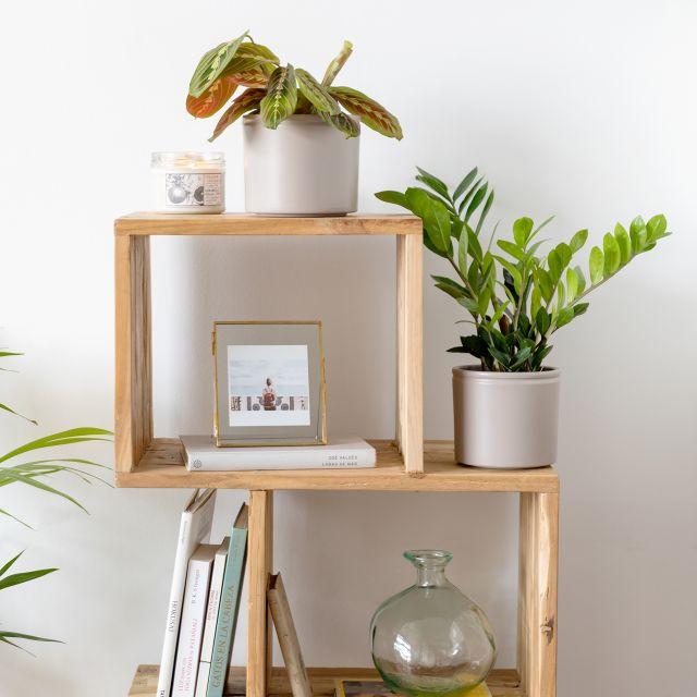 Comprar plantas Maranta Leuconeura e Zamioculca o ZZ planta