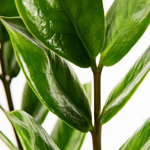 Comprar Maranta Leuconeura e Zamioculca o ZZ planta online