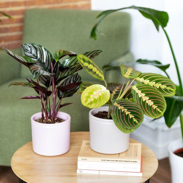 Maranta Leuconeura e Calathea ornata pianta