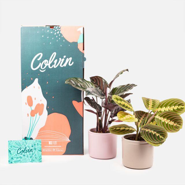 Comprar plantas Maranta Leuconeura e Calathea ornata