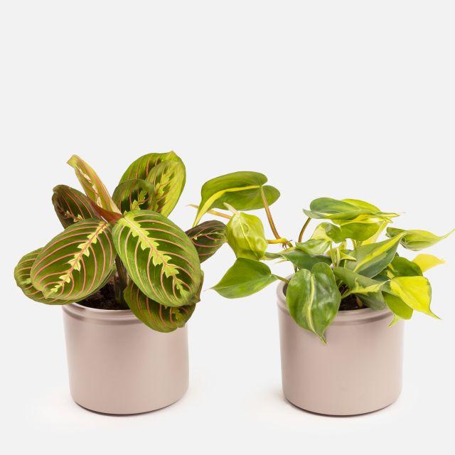 Comprar Maranta Leuconeura y Philodendron Brasil online