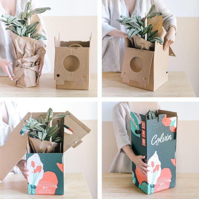 Enviar Maranta Leuconeura y Philodendron Brasil a domicilio