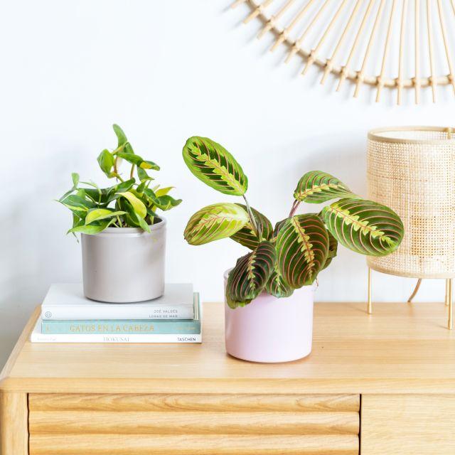 Maranta Leuconeura e Philodendron Brasil pianta