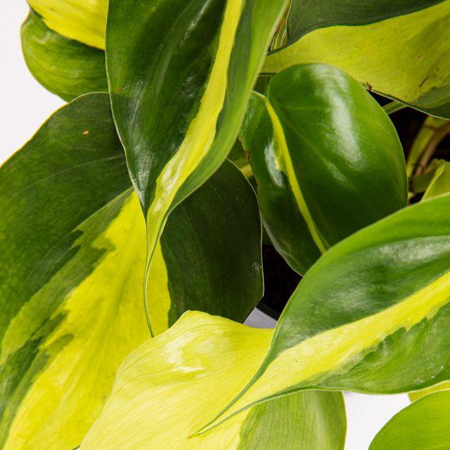 Maranta Leuconeura y Philodendron Brasil planta