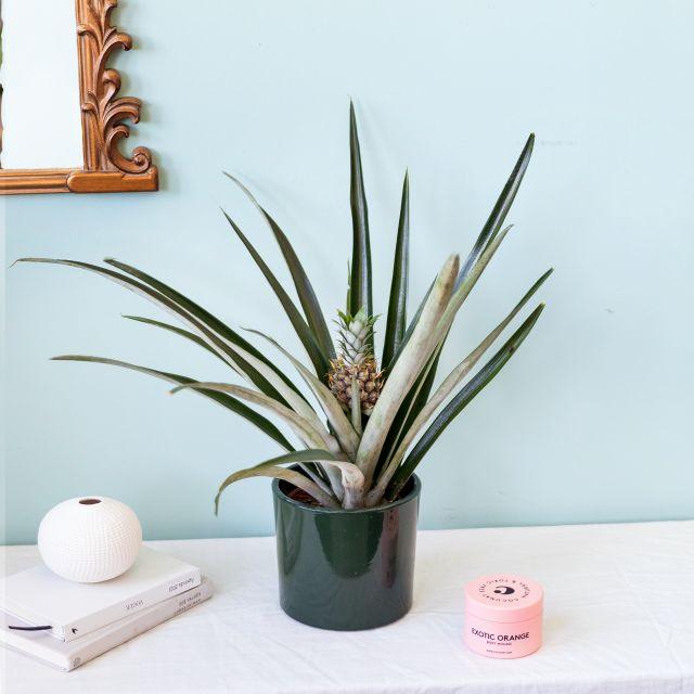 Envío online planta piña y crema corporal