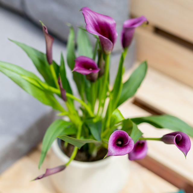comprar plantas online cala flor violeta blanca