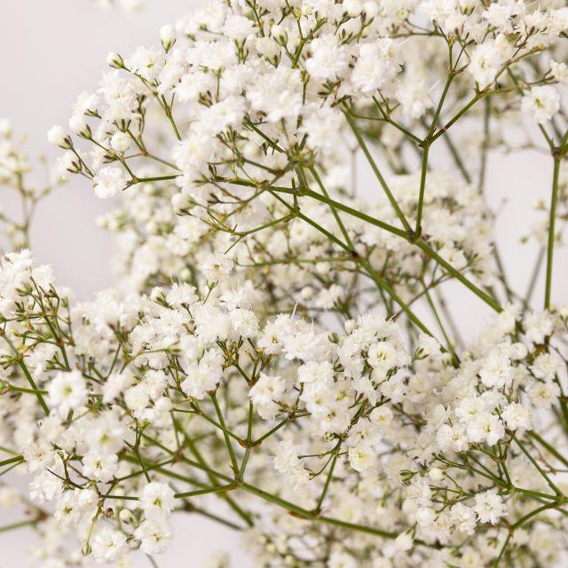 Weißer Paniculata Strauß