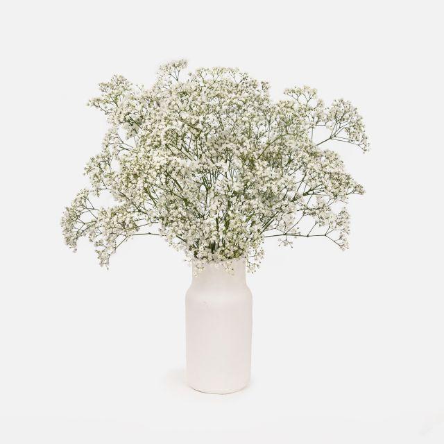 Weißer Paniculata-Strauß White Caress Colvin