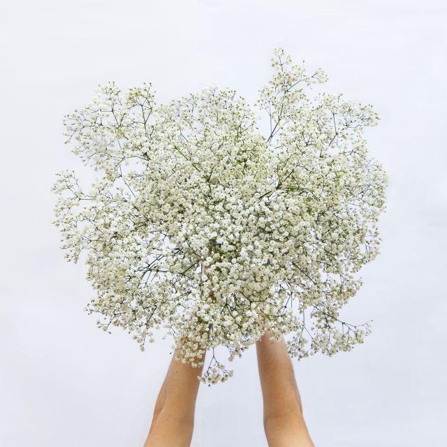 Weiße Paniculata nach Hause schicken