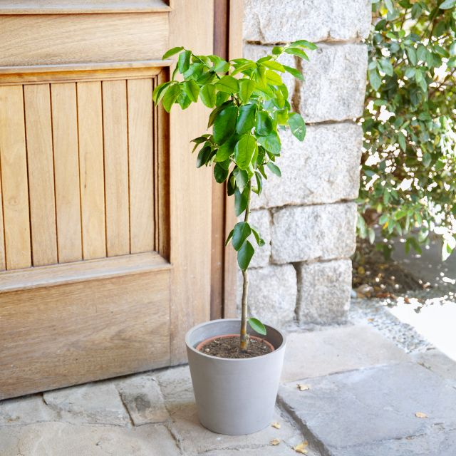 Citrus Latifolia oder Zitronenbaum online