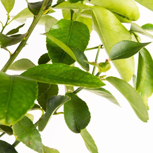 Citrus Latifolia oder Zitronenbaum bestellen