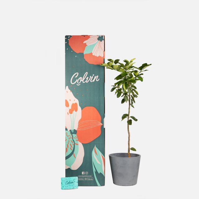Citrus Latifolia oder Zitronenbaum nach Hause bestellen