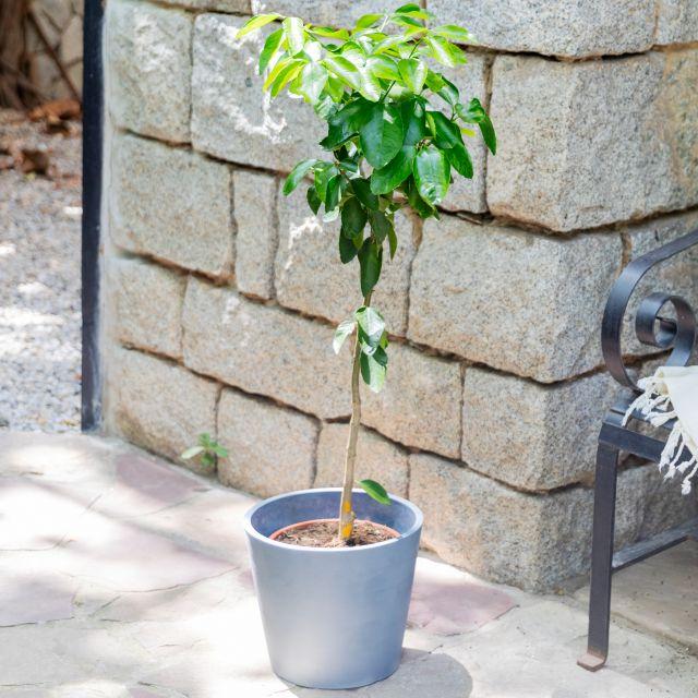 Citrus Latifolia oder Zitronenbaum nach Hause schicken