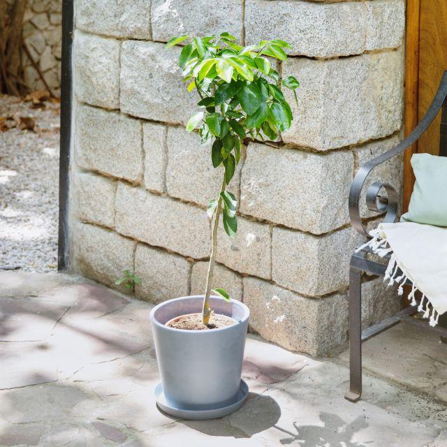 Citrus Latifolia oder Zitronenbaum Colvin