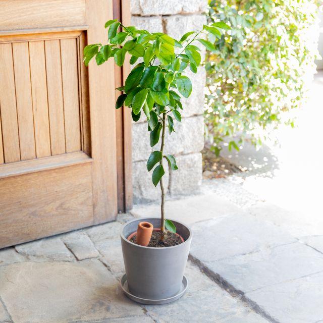 Citrus Latifolia oder Zitronenbaum mit Lieferung nach Hause