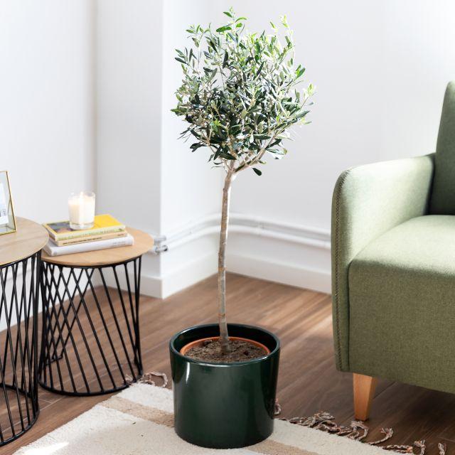 Comprar olivo grande online