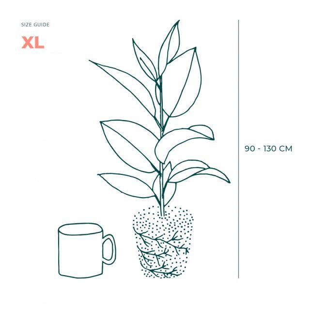 XL Helen