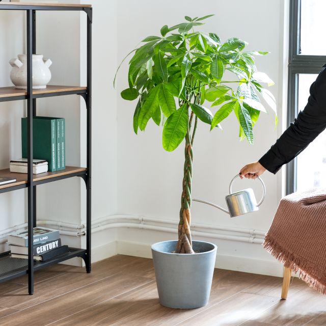 Comprar Pachira aquatica planta a domicilio