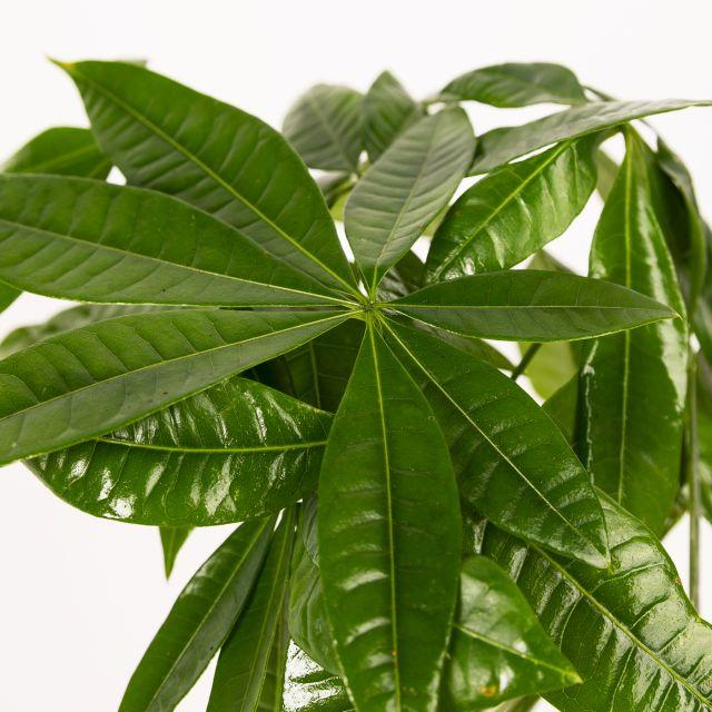 Pachira Aquatica Pflanze online kaufen