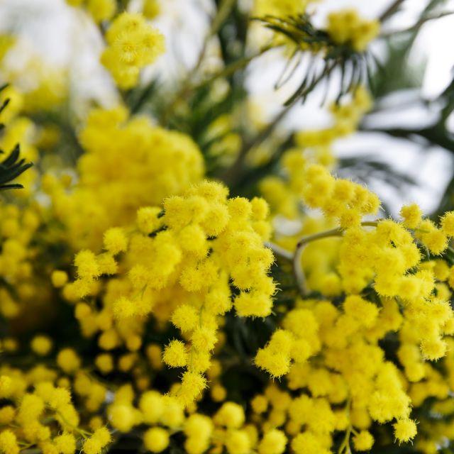Inviare fiori online di mimosa Yellow Light