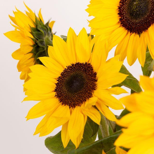 Gelbe Sonnenblumen kaufen